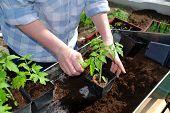 Tomate-Pflanzen