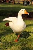 Ballerina Goose