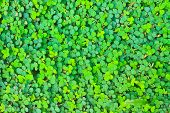Pattern. Oxalis Acetosella .background Nature .