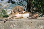 Rhesus macaque grooming its mate