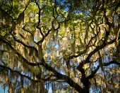 Oak Tree with Spanish Moss