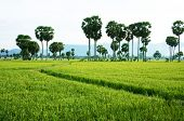 The Path On Green Paddy Field And Palm Trees