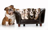 pic of bulldog  - dog family  - JPG