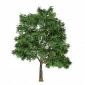Tree isolated. Quercus