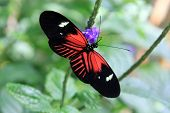 Black and Red Tropical Butterfly