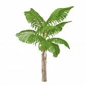 Palm tree isolated. Caryota gigas
