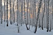 stock photo of birchwood  - Sunset in winter birchwood - JPG