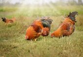 Chickens graze on grass