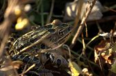 Leopard Frog Camouflage