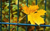 One lonesome leaf  on a fence