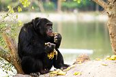 Chimpanzee In Nightsafari Chiangmai Thailand