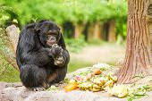 stock photo of chimp  - Chimpanzee In Chiangmai Nightsafari  - JPG