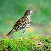 stock photo of brown thrush  - Beautiful black-and-white bird, White Thrush (Zoothera aurea), standing on the log, breast profile