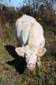 stock photo of charolais  - An inquisitive white charolais cow approaches the camera - JPG