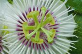 Closed Up Fetid Passionflower
