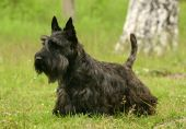 stock photo of scottish terrier  - The Scottish Terrier  - JPG