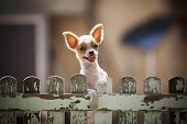 stock photo of fluffy puppy  - pomeranian puppy dog climbing old wood fence use for animals and pets topic - JPG