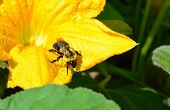 Bumble Bee on Squash Blossom