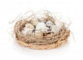Quail eggs nest. Isolated on white background