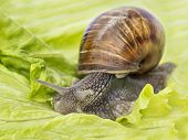 image of hermaphrodite  - Burgundy snail eating a lettuce leaf - JPG