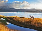 Trusting guanaco on the shore of Lake Grey.  National Park Torres del Paine, Chile.  Blue iceberg fl
