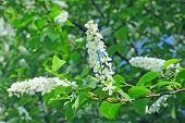 Bird Cherry Tree In Bloom At Spring Garden