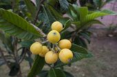 foto of loquat  - a tree of  loquat with the fruits - JPG