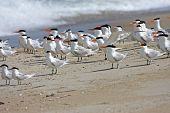 image of tern  - flock of Royal Terns on a beach