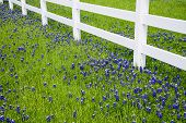 Bluebonnets Blooming In Spring