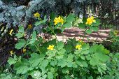 picture of celandine  - Medicinal herb celandine blooms in the forest lit by the Sun - JPG