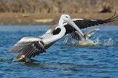 Pink-backed Pelicans Rushing Forwards To Dive For Fish