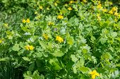 foto of celandine  - Medicinal herb celandine blooms in the forest lit by the Sun - JPG