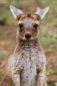 The western grey kangaroo baby (Macropus fuliginosus)