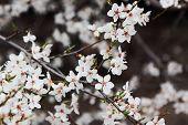 Cherry Flowers.