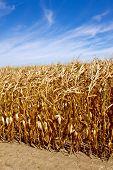Row of Ripened Corn