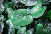 picture of elephant ear  - giant elephant ear leaf in forest background - JPG