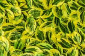 Texture, Background Made Of Leaves  Euonymus Fortunei With Drops Of Water