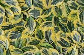 Texture, Background Made Of Leaves  Euonymus Fortunei