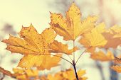 Autumn Maple Leaves In Retro Style