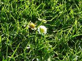 Small White Flower on Fresh Green Grass