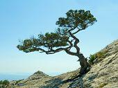 Single pine tree on sky background