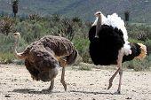 Ostrich Breeding Pair