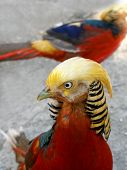 Gold pheasant, tropical bird, close-up
