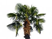 Palm tree, isolated on white background