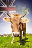 Cow With Flag On Background Series - Pitcairn Group Of Islands