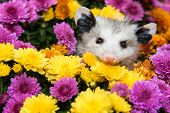 stock photo of possum  - A Baby Opossum hiding in mums in the garden - JPG