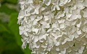 Large White Hydragea Flower