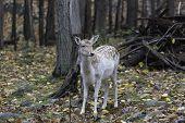 Single small fallow deer