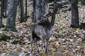 foto of bambi  - A single male elk in the woods during fall - JPG