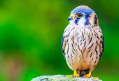 picture of small-hawk  - A portrait of american Kestrel with green background - JPG